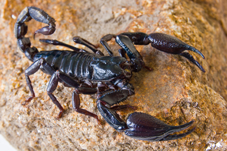 Scorpion On a Rock
