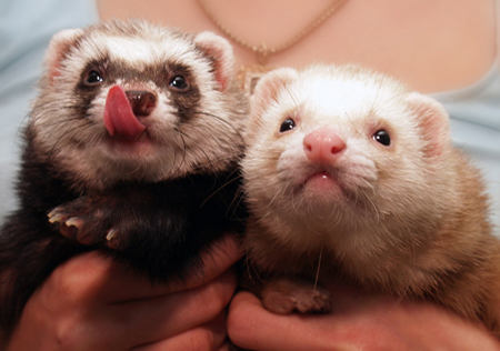 Person Holding Two Ferrets